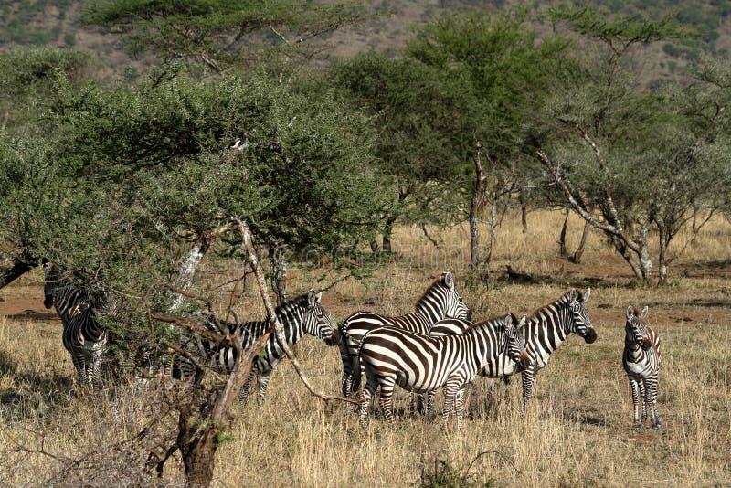 Zebras in the Serengeti Savannah stock photography