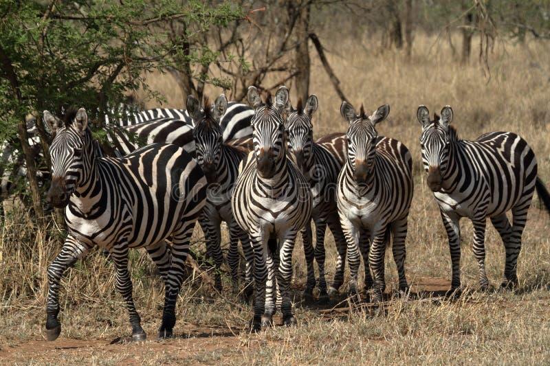 Zebras in the Serengeti Savannah royalty free stock image
