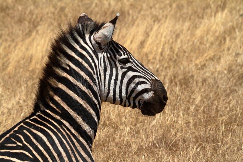 Zebras in the Serengeti Savannah royalty free stock photography