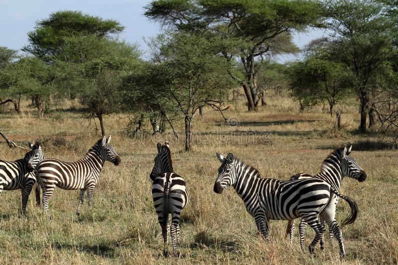 Zebras in the Serengeti Savannah stock image