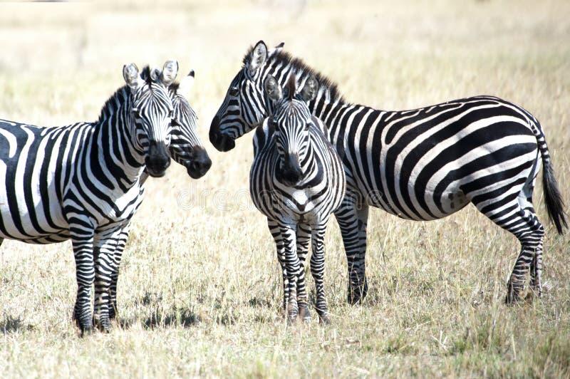 Zebras in Serengeti, Tanzania royalty-vrije stock fotografie