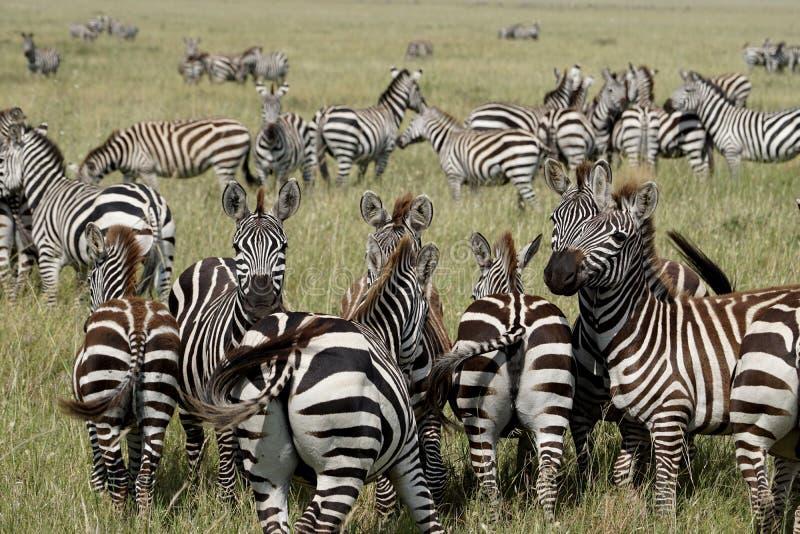 Zebras in Serengeti, Tanzania stock afbeeldingen