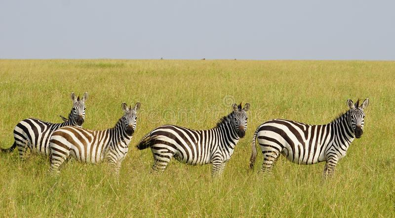 Zebras in Serengeti, Tanzania royalty-vrije stock foto