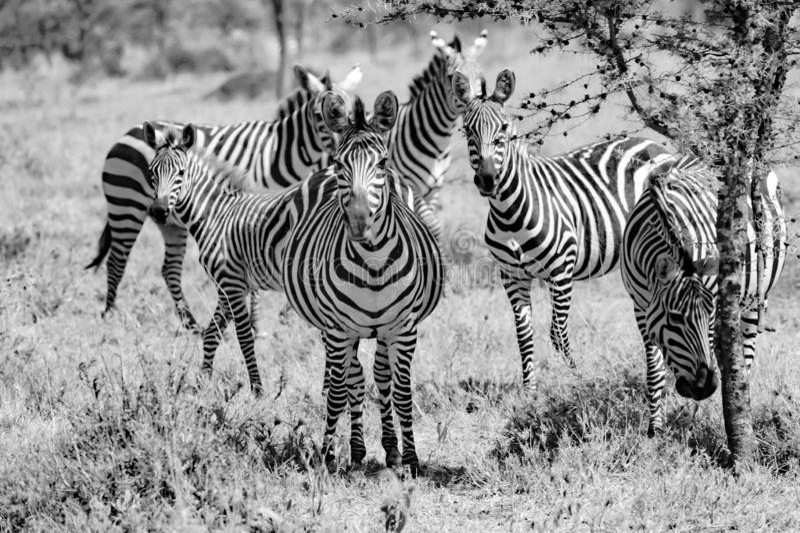 Zebras in Serengeti, Tanzania, black-and-white photography royalty free stock photos