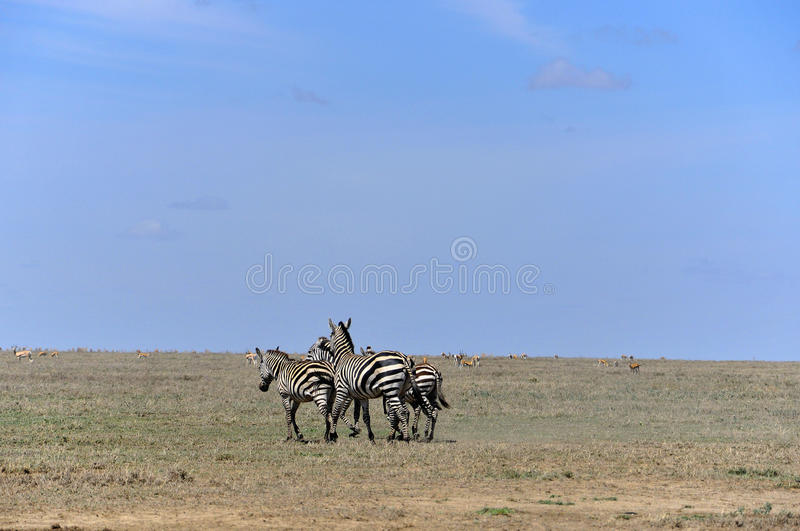 Zebras. Serengeti Tanzania. The Serengeti hosts the largest mammal migration in the world, which is one of the ten natural travel wonders of the world stock photo