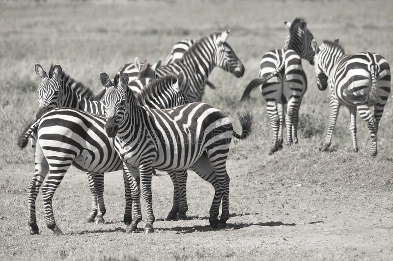 Zebras. Serengeti Tanzania. The Serengeti hosts the largest mammal migration in the world, which is one of the ten natural travel wonders of the world royalty free stock images