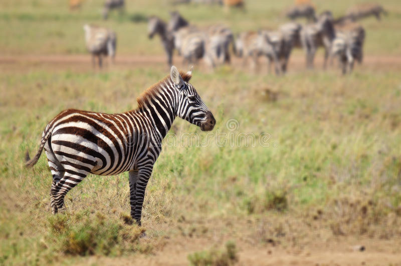 Zebras. Serengeti Tanzania. The Serengeti hosts the largest mammal migration in the world, which is one of the ten natural travel wonders of the world royalty free stock photos