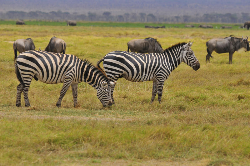 Zebras. Serengeti Tanzania. The Serengeti hosts the largest mammal migration in the world, which is one of the ten natural travel wonders of the world stock images