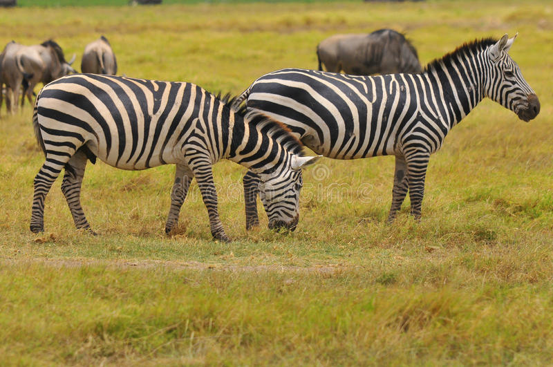 Zebras. Serengeti Tanzania. The Serengeti hosts the largest mammal migration in the world, which is one of the ten natural travel wonders of the world royalty free stock photography