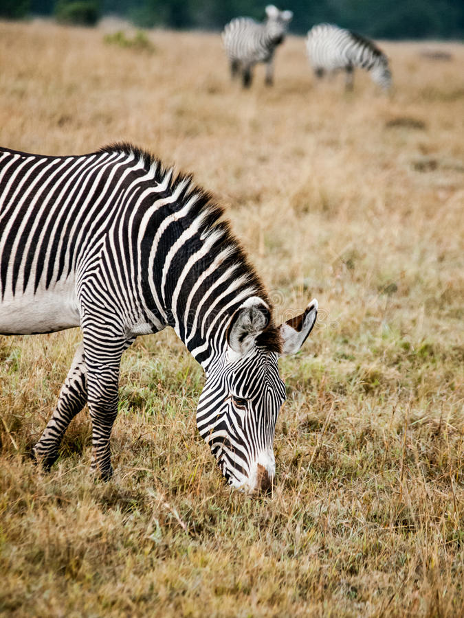 Zebras. Are several species of African equids (horse family) united by their distinctive black and white striped coats stock photography