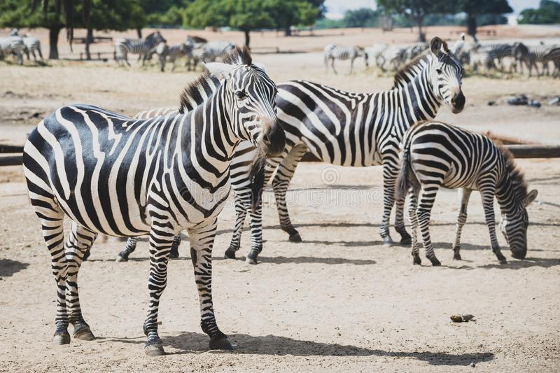 A herd of zebras grazing in the reserve in a safari. royalty free stock photography