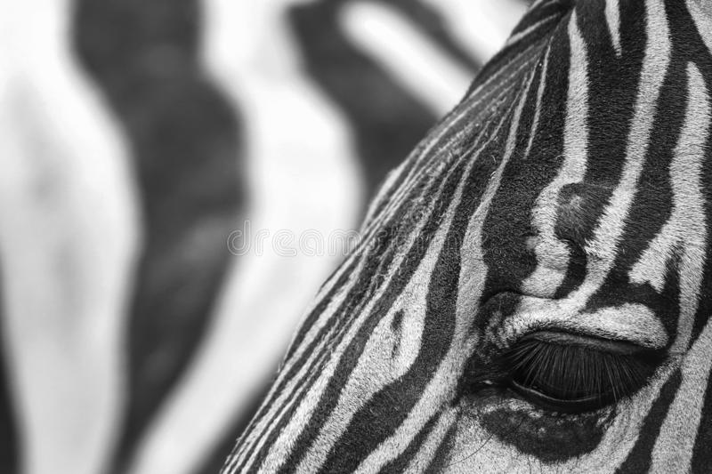 The zebra royalty free stock photos