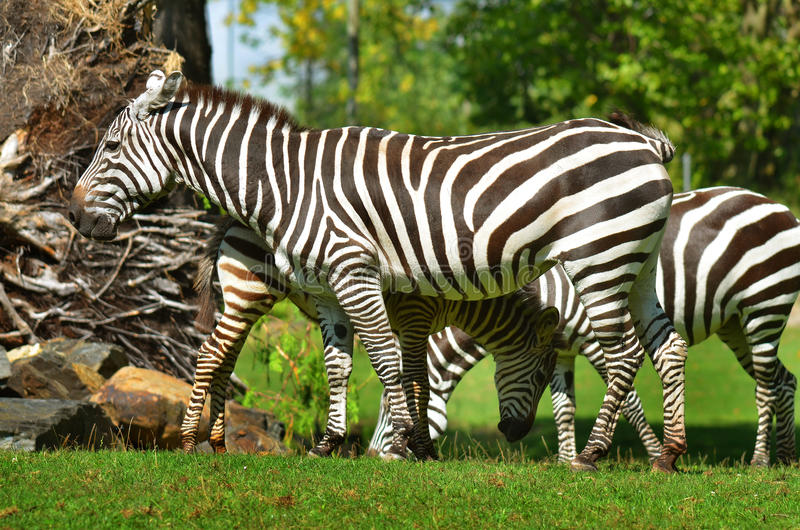 Zebras. Are several species of African equids (horse family) united by their distinctive black and white stripes stock photography