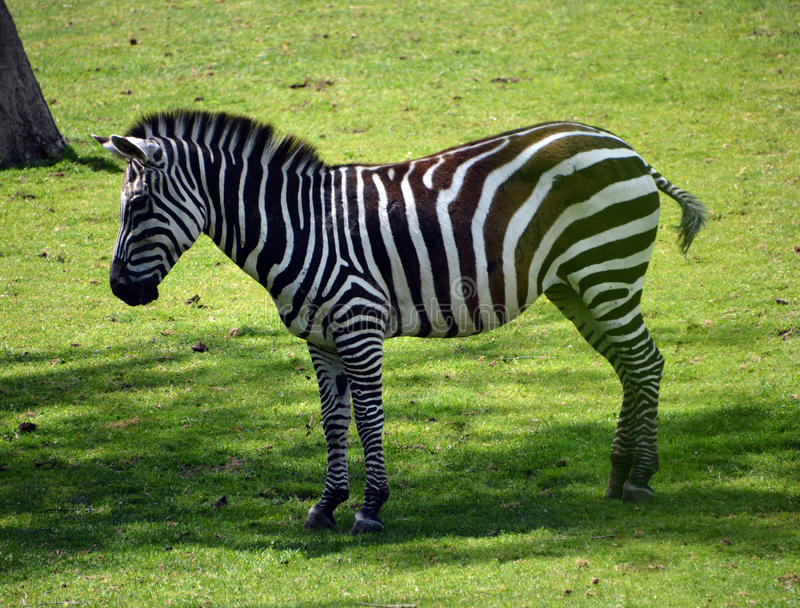 Zebras. Are several species of African equids horse family united by their distinctive black and white stripes stock photo