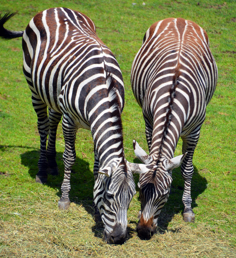 Zebras. Are several species of African equids horse family united by their distinctive black and white stripes royalty free stock photo