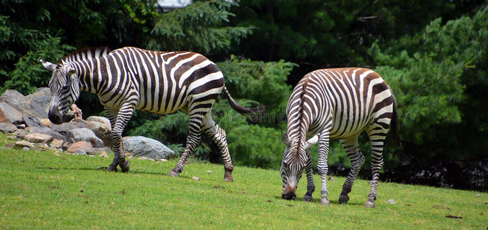 Zebras. Are several species of African equids horse family united by their distinctive black and white stripes royalty free stock photos