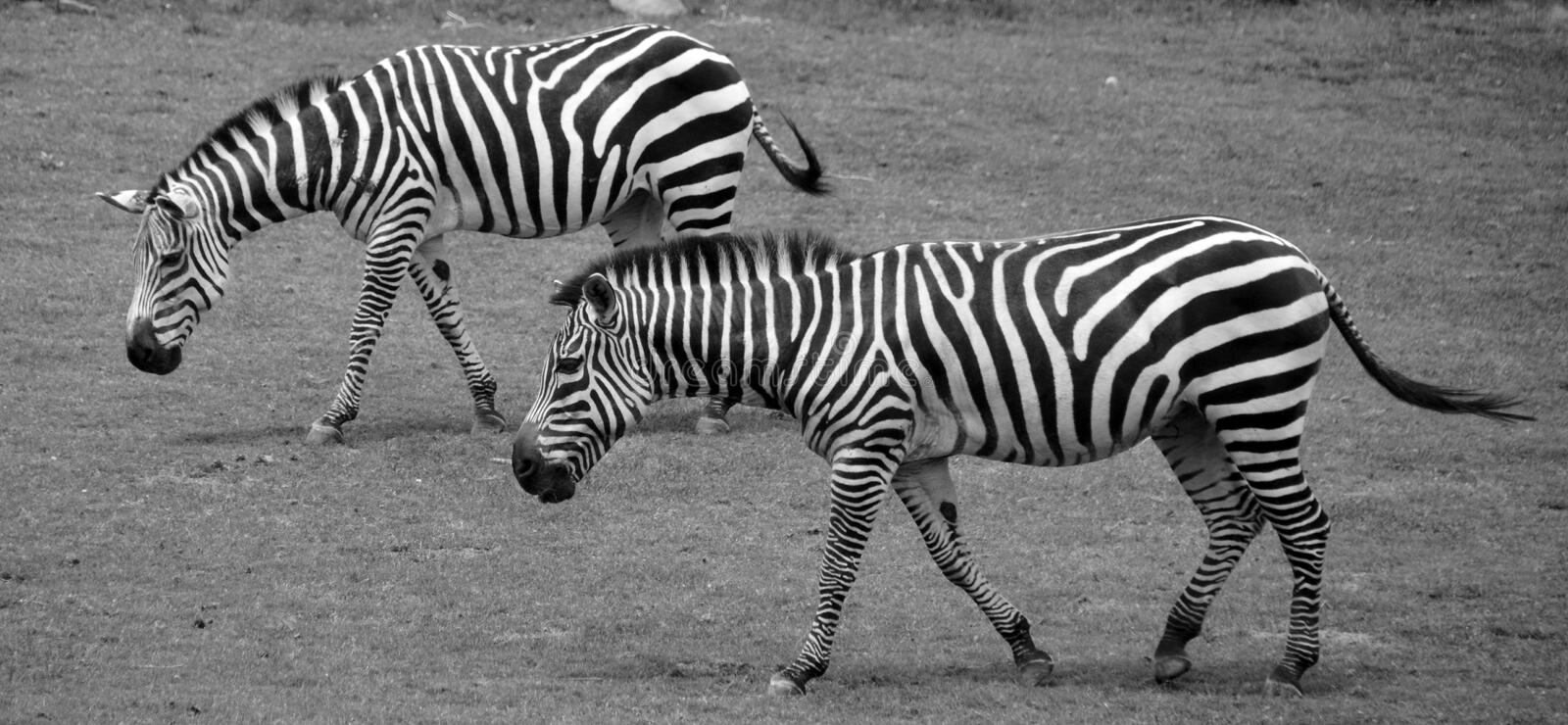 Zebras. Are several species of African equids horse family united by their distinctive black and white stripes royalty free stock photography