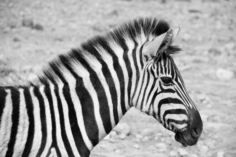 Zebras. Are several species of African equids (horse family) united by their distinctive black and white stripes. (Etosha National Park) Namibia Africa stock images