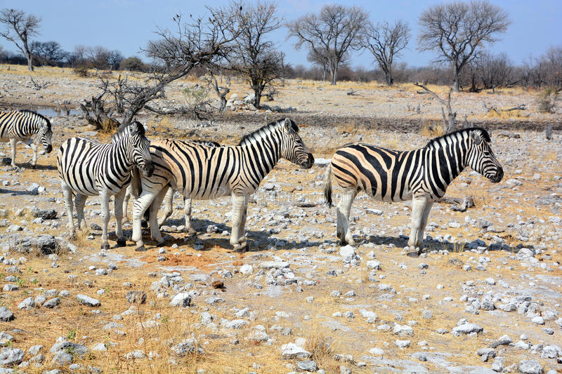 Zebras. Are several species of African equids (horse family) united by their distinctive black and white stripes. (Etosha National Park) Namibia Africa royalty free stock photo
