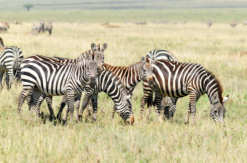 Zebras. Are several species of African equids (horse family) united by their distinctive black and white stripes. (Etosha National Park) Namibia Africa stock photography