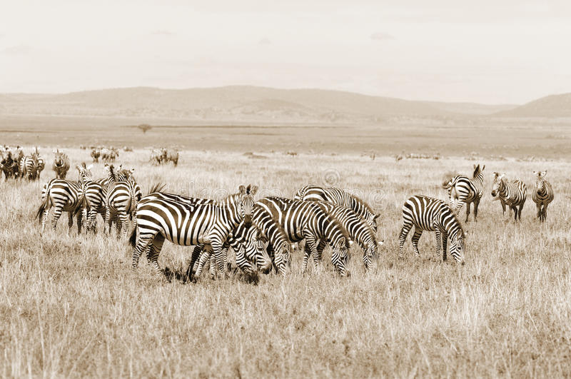 Zebras. Are several species of African equids (horse family) united by their distinctive black and white stripes. (Etosha National Park) Namibia Africa royalty free stock image