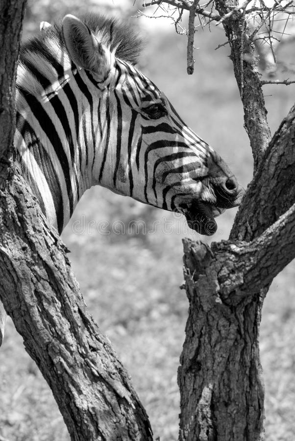 Zebras. Are several species of African equids (horse family) united by their distinctive black and white stripes. (Etosha National Park) Namibia Africa royalty free stock images