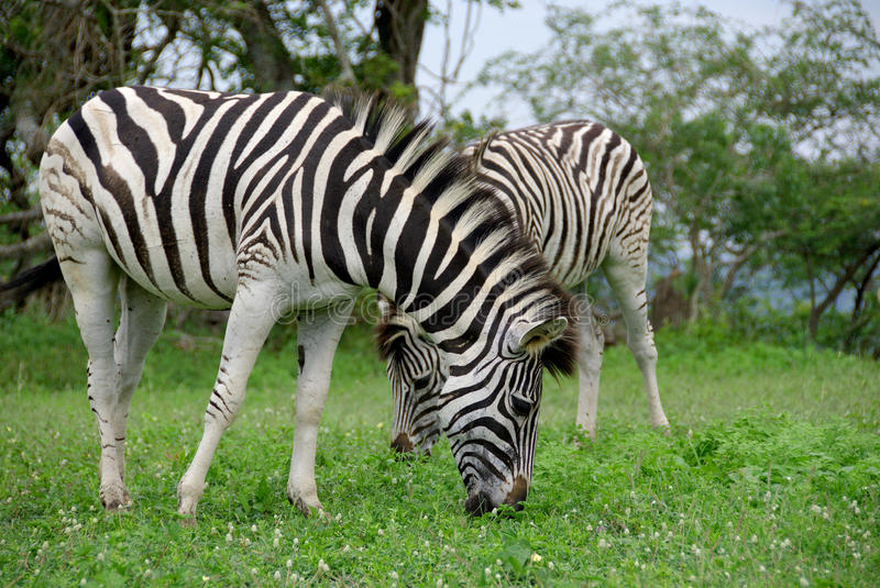 Zebras. Are several species of African equids (horse family) united by their distinctive black and white stripes. (Etosha National Park) Namibia Africa stock image