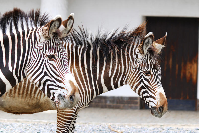 Zebras. Are several species of African equids (horse family) united by their distinctive black and white stripes. (Etosha National Park) Namibia Africa stock photos