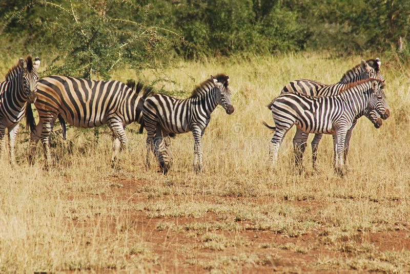Zebras. Are several species of African equids (horse family) united by their distinctive black and white stripes. (Etosha National Park) royalty free stock photography