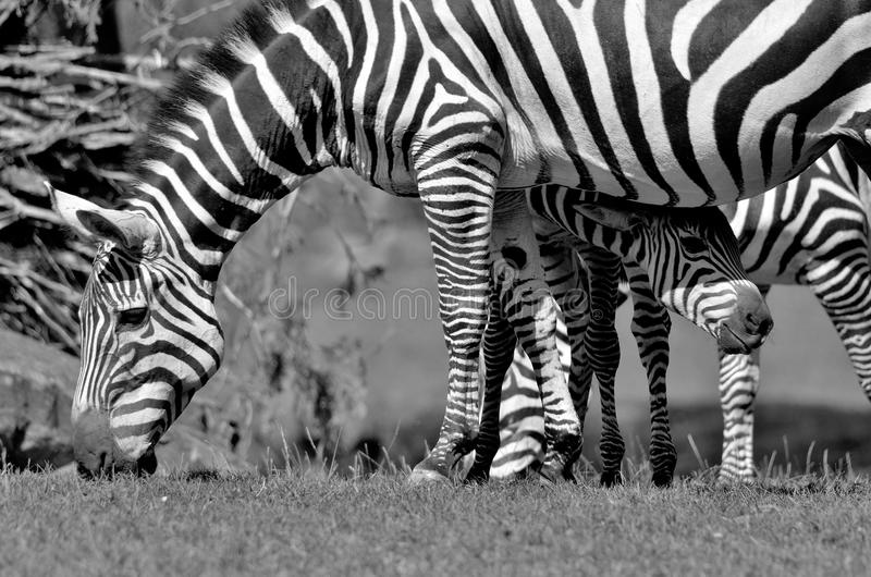 Zebras. Are several species of African equids (horse family) united by their distinctive black and white stripes. (Etosha National Park) Namibia Africa royalty free stock photos