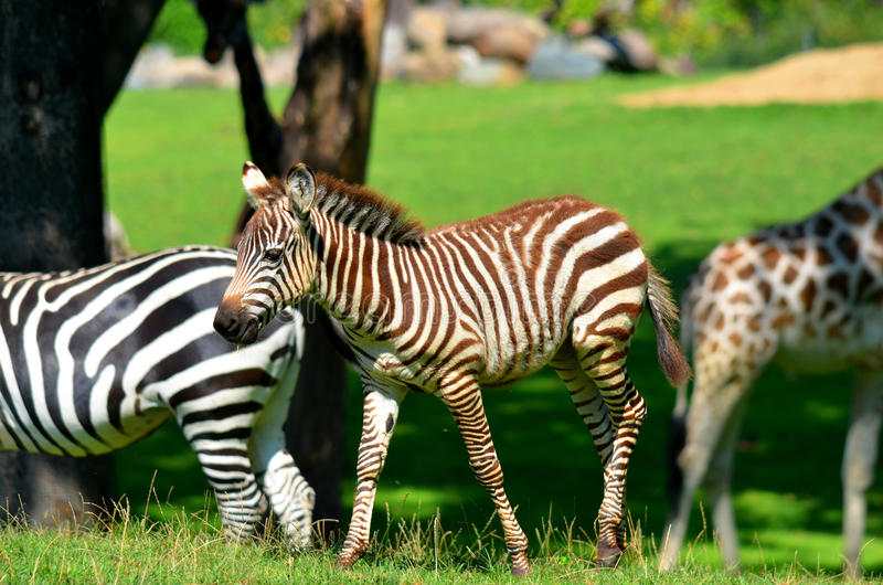 Zebras. Are several species of African equids (horse family) united by their distinctive black and white stripes. (Etosha National Park) Namibia Africa royalty free stock photography