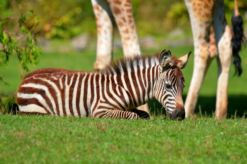 Zebras. Are several species of African equids (horse family) united by their distinctive black and white stripes. (Etosha National Park) Namibia Africa stock photo