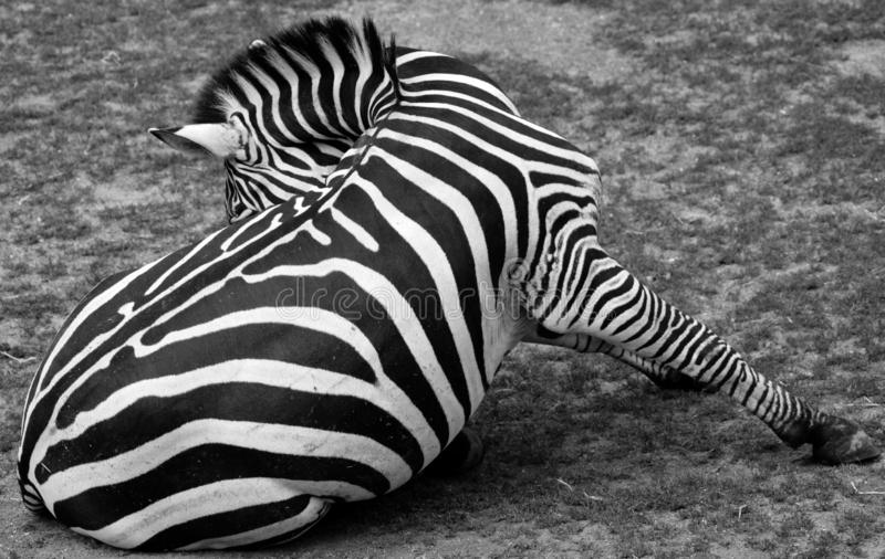 Zebras are several species of African equids. Horse family united by their distinctive black and white stripes stock images
