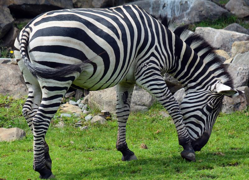 Zebras are several species of African equids. Horse family united by their distinctive black and white stripes stock image