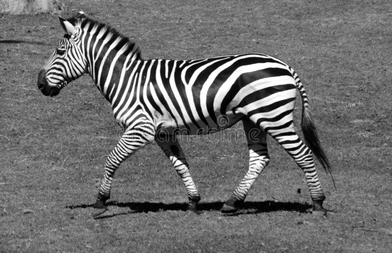 Zebras are several species of African equids. Horse family united by their distinctive black and white stripes royalty free stock photo