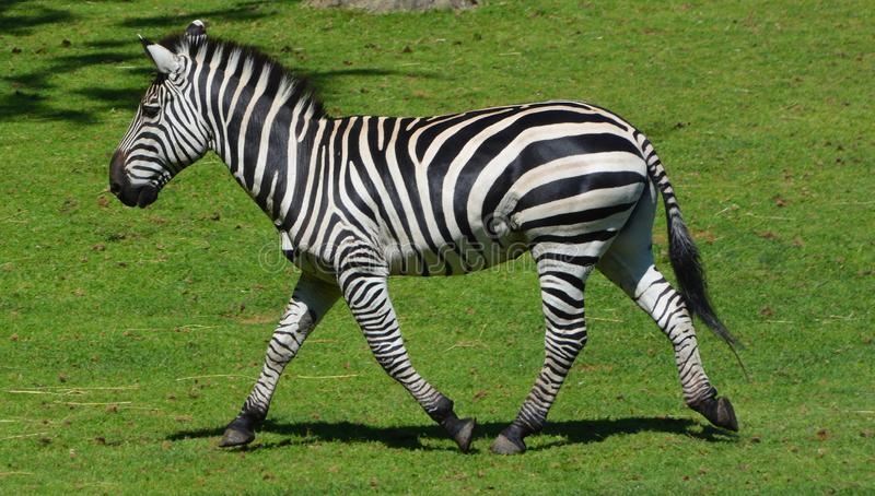 Zebras are several species of African equids. Horse family united by their distinctive black and white stripes royalty free stock photography