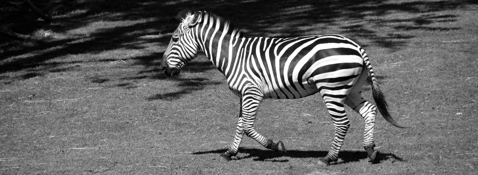 Zebras are several species of African equids. Horse family united by their distinctive black and white stripes stock photography