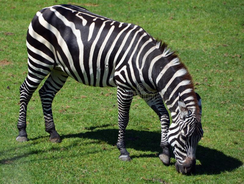 Zebras are several species of African equids. Horse family united by their distinctive black and white stripes royalty free stock images