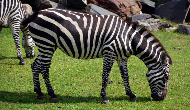 Zebras are several species of African equids. Horse family united by their distinctive black and white stripes stock photos