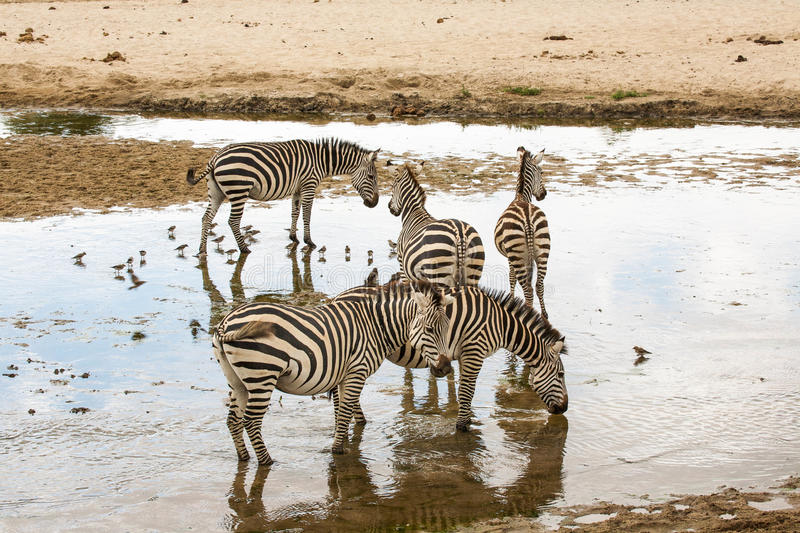 Zebras. Some zebras by the pool royalty free stock photo