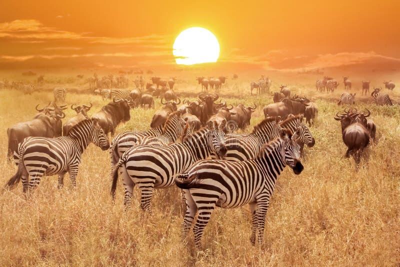 Zebras am Sonnenunterganghintergrund lizenzfreie stockfotos