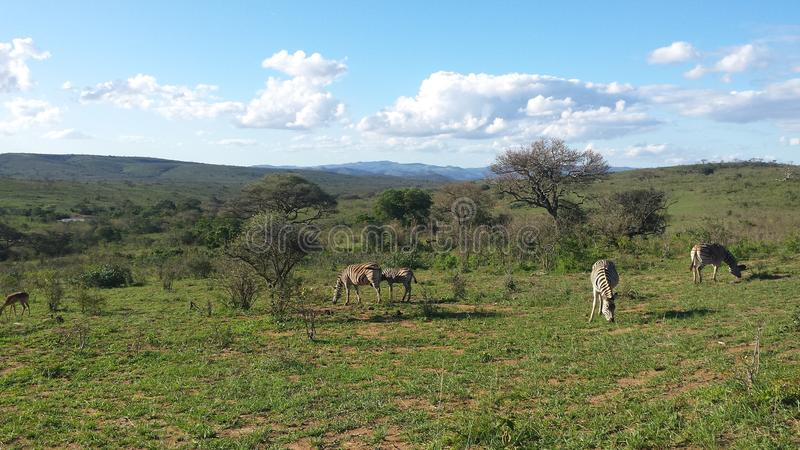 Zebras in south africn savannah stock images