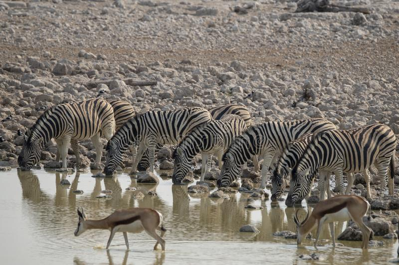 Zebras and springbok at the waterhole at Okaukuejo, Etosha - Namibia. Especially in the morning and the evening a lot of animals drink from the waterhole. very stock photography
