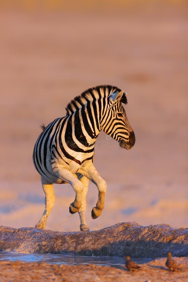 Zebras springen vom waterhole lizenzfreies stockfoto