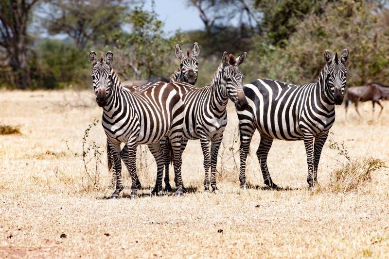 Zebras, Tansania, Afrika, zusammen stehend in Serengeti lizenzfreie stockfotos