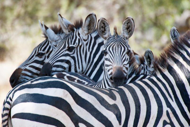 Zebras, Tanzania, Africa, standing together in Serengeti stock photos