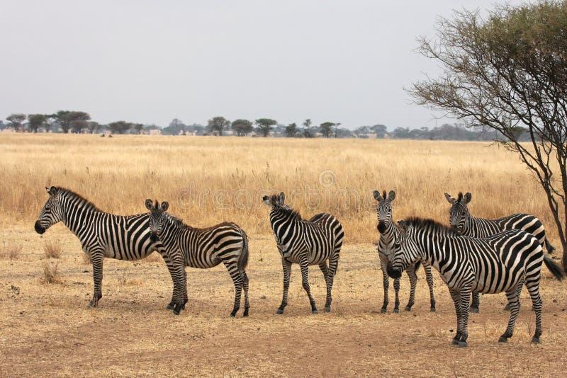 Zebras In Tarangire National Park Royalty Free Stock Image