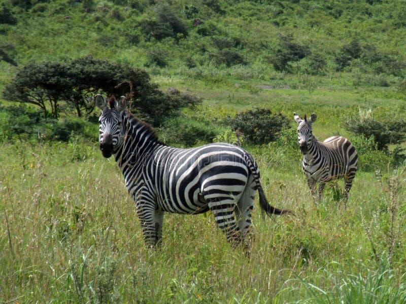 Zebras in Tarangire National Park, Tanzania. Nfot. Magdalena Ziółkowska, 2012 stock images