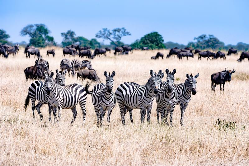 Zebras together in Serengeti, Tanzania Africa, group of Zebras between Wildebeests royalty free stock image