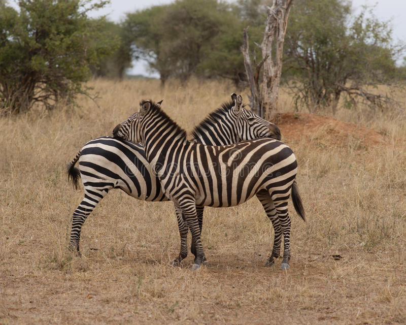 Zebras royalty free stock photography